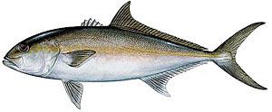 Sport fishing for amberjack.
