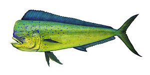 Sport fishing for mahi-mahi.