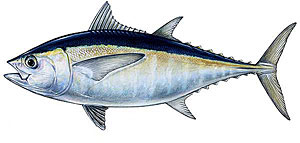 Sport fishing for tuna.