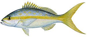 Sport fishing for yellowtail snapper.